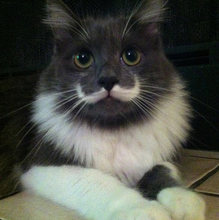 Hamilton the Hipster Cat