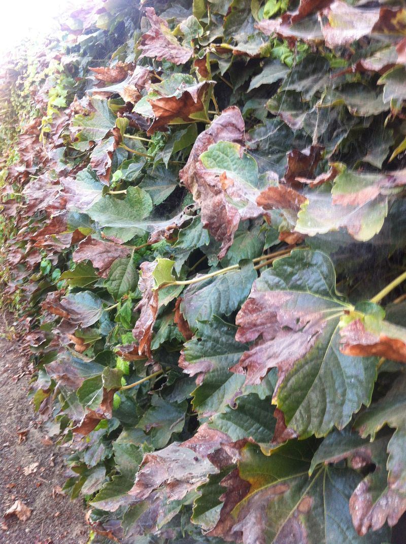 Ivy drought 9.2