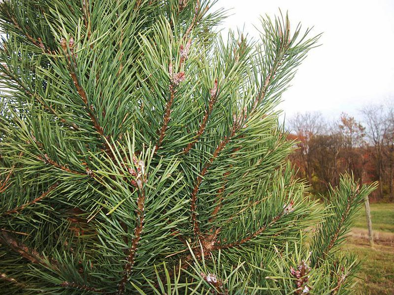 Evokative Life: Oh Christmas Tree, Oh Christmas Tree: What Species Are Thee?