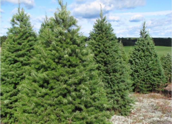 Evokative Life: Oh Christmas Tree, Oh Christmas Tree: What