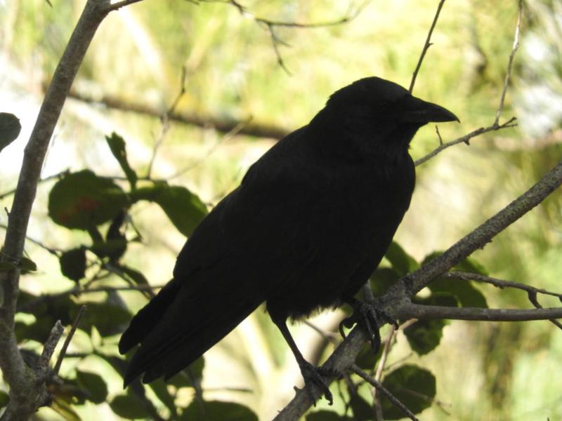 Crowsihouette