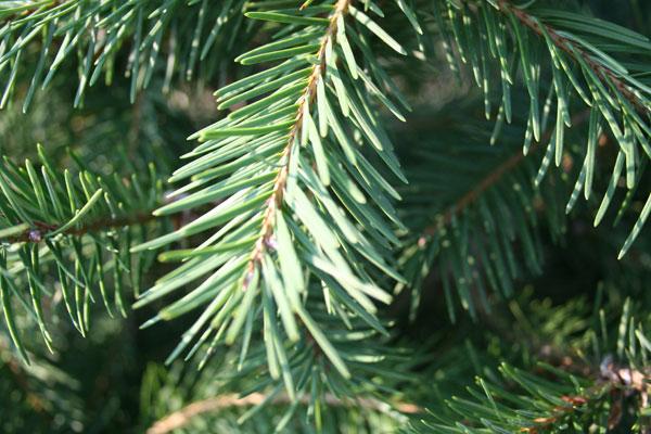 Douglas_fir_tree_detail