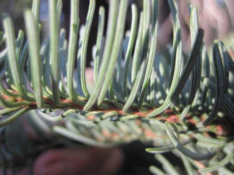 Red fir detail